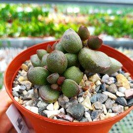 Adromischus marianiae cv. Little Spheroid