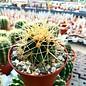 Echinocactus grusonii  f.nova longispinus Juan Capistrano Zacatecas, Mx