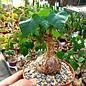 Sterculia colorata