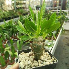 Pachypodium brevicaule   Madagaskar gepfr.