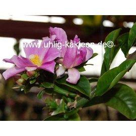 Pereskia grandifolia   (syn. Rhodocactus grandifolius)