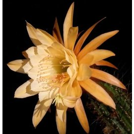Hildewintera aureispina-Hybr.  `Humkes Honeymouth`