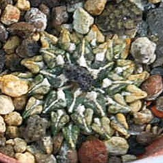 Ariocarpus kotschoubeyanus      CITES
