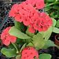 Euphorbia milii Grandiflora-Thai-Hybr. Po Tho Tho