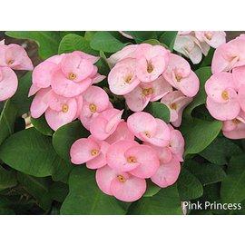 Euphorbia milii Grandiflora-Thai-Hybr.  Pink Princess