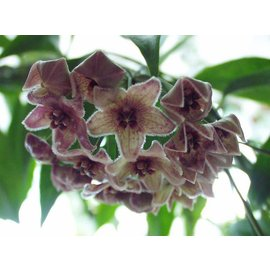Hoya chloranthae  v. tutuilensis