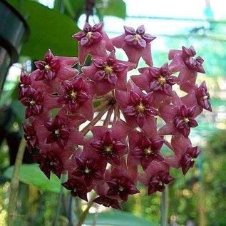 Hoya cinnamomifolia v. purpureofusca