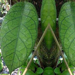 Hoya alyona
