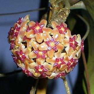Hoya vittelina