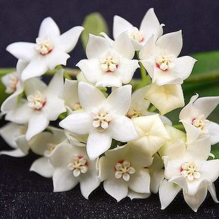 Hoya albiflora