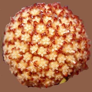 Hoya macgregorii