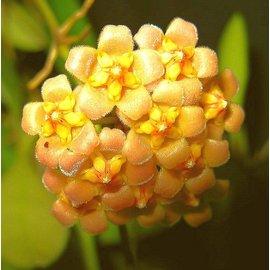 Hoya davidcummingii cv. Yellow Flower