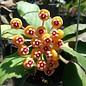 Hoya waymaniae cv. Long Leaf  Borneo