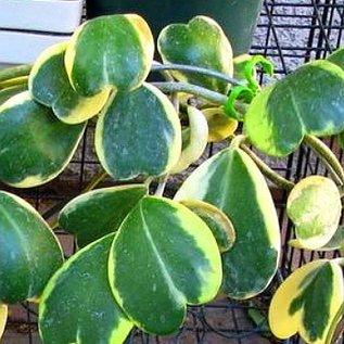 Hoya kerrii  variegata cv. aureo-marginata