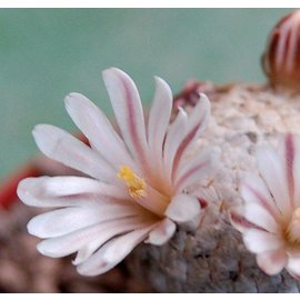 Mammillaria sanchez-mejoradae    gepfr.