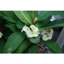 Euphorbia milii Grandiflora-Thai-Hybr.  White Bouquet