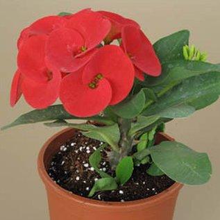 Euphorbia milii Grandiflora-Thai-Hybr.  Red Sun