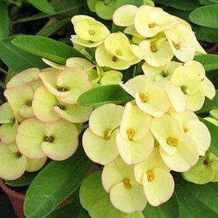 Euphorbia milii Grandiflora-Thai-Hybr. Century