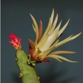 Wilmattea minutiflora   Blüte cremeweiß / creme, (syn. Hylocereus)