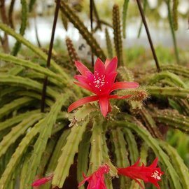 Aporophyllum-Hybr. `Sabine`
