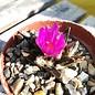 Ariocarpus scaphirostris cv. rauhe Form     CITES, not outside EU