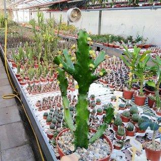 Euphorbia mayuranathani XL   Indien