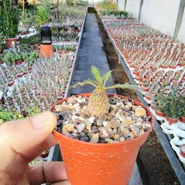 Euphorbia hadramantica