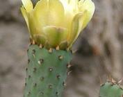 Opuntia-Hybride