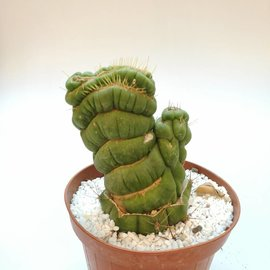 Eulychnia castanea cv. Espiralis cristata, injertada