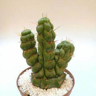 Eulychnia castanea cv. spiralis, grafted