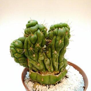 Eulychnia castanea  cv. spiralis, gepfr.