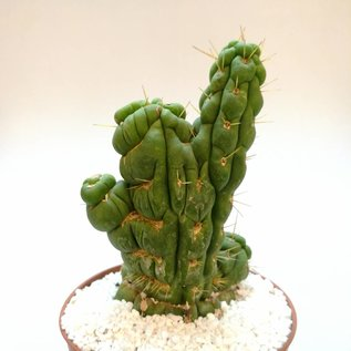 Eulychnia castanea cv. spiralis, greffé