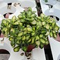 Aichryson laxum variegata