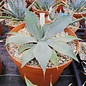 Agave megalacantha       (dw)