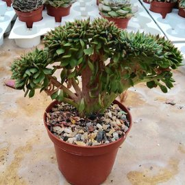 Echeveria pulidonis     cristata