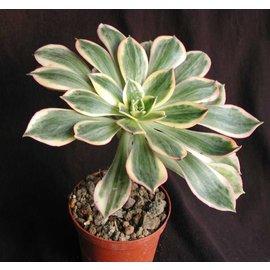 Aeonium Hybr.  Sunburst