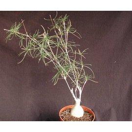 Euphorbia hedyotoides