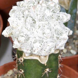 Astrophytum myriostigma cv. Lotusland-Hybr.   gepfr.