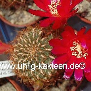 Sulcorebutia tiraquensis v. totorensis WK 884 20 km südöstl. Totora