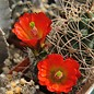Echinocereus triglochidiatus v. mojavensis      (dw)