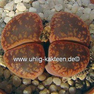 Lithops hookeri