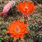 Echinocereus coccineus X salm-dyckianus      (dw)