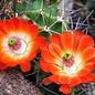 Echinocereus triglochidiatus       (dw)