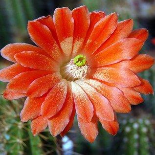 Echinocereus acifer   Los Organos
