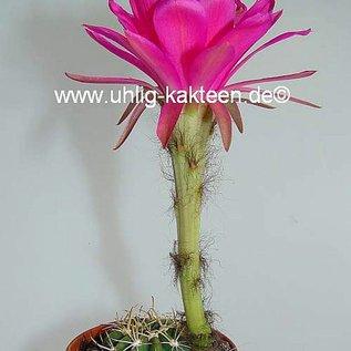 Echinopsis obrepanda v. purpurea