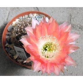 Echinopsis-Hybr. `Andenken an H. Krainz` Uebelmann 3219