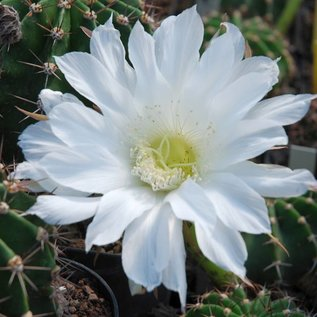Echinopsis-Hybr. `Calif Yelmema`