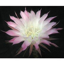 Echinopsis-Hybr. Passo CM 58 Yissel Dream