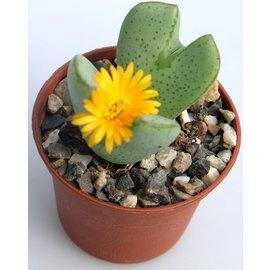 Conophytum bilobum  v. D