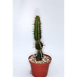 Euphorbia rowlandii
